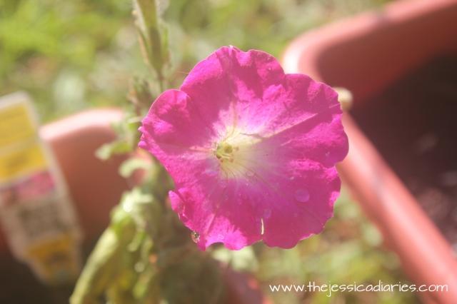 jessicasimien-garden-petunia